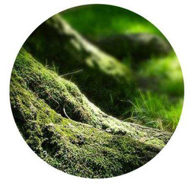 Nahaufnahme einer Baumwurzel mit Moos vor unscharfem Wald