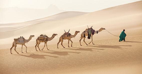 Beduine mit Karawane von vier Kamelen geht duch helle sanfte Wueste